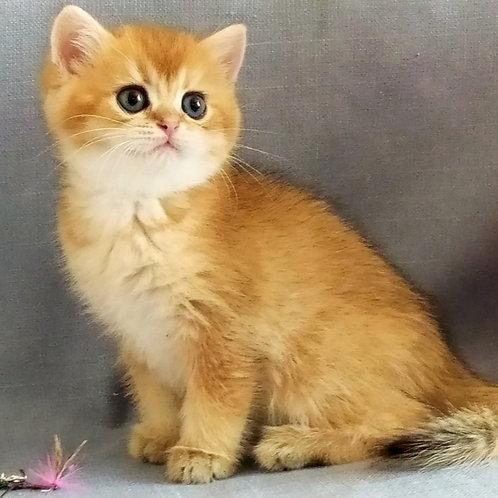 450 Perfect man   British shorthair male kitten