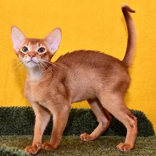 115 Monro   purebred Abyssinian female kitten