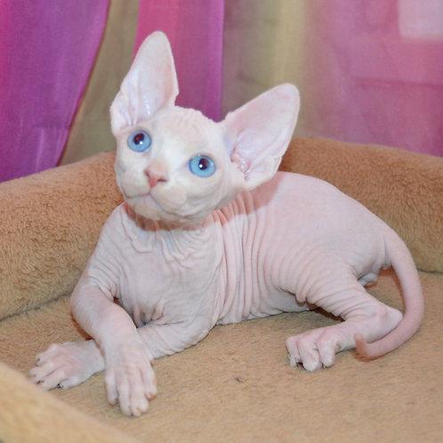 610 Kenwood  male Sphynx   kitten