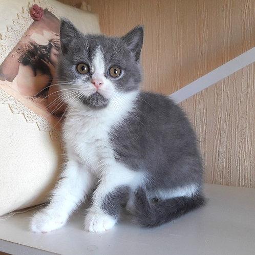 Businka British shorthair female kitten