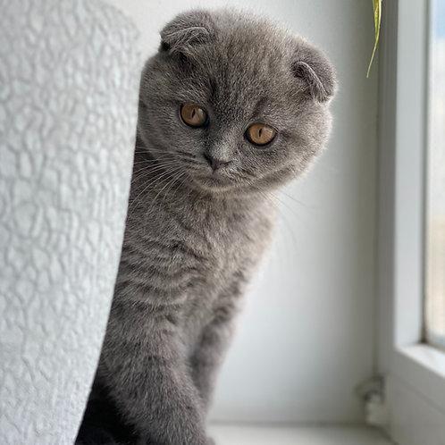 479 Ether    Scottish fold shorthair male kitten