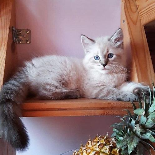 Horcrux Siberian male kitten