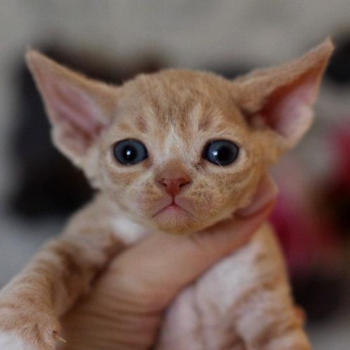 133 Daddy    male kitten Devon Rex