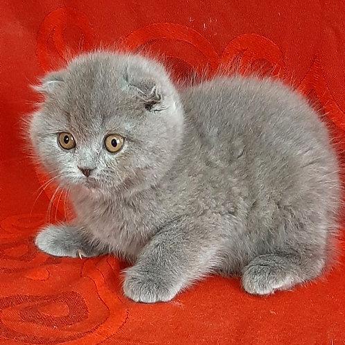 260 Mila     Scottish fold shorthair female kitten