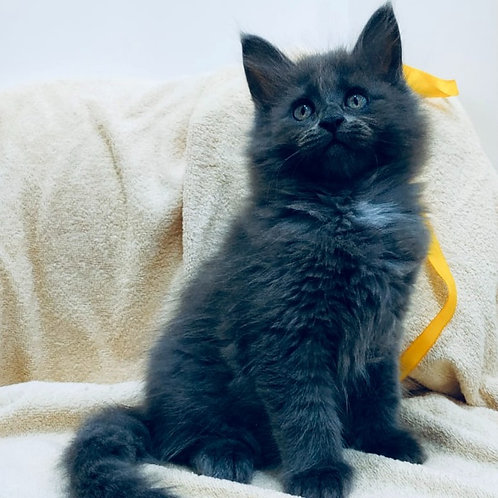 830 Faina Maine Coon female kitten