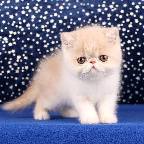 87 Derick  Exotic  male kitten