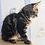 Thumbnail: 805 Altay  Maine Coon male kitten