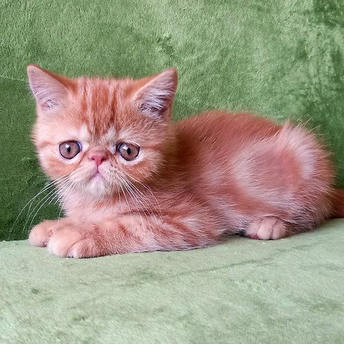 171 Hosse   Exotic  male kitten