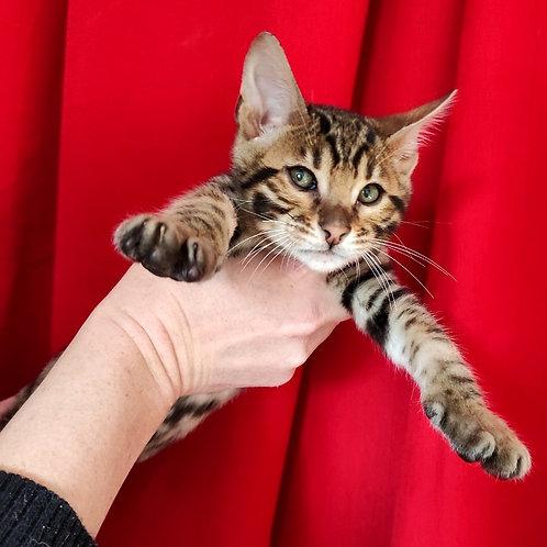 13 Simeon  purebred Bengal male kitten