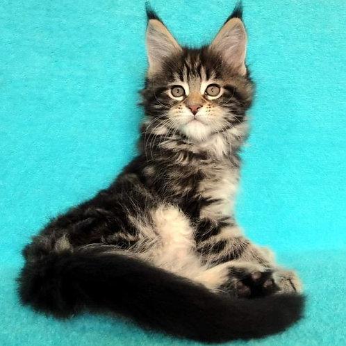720 Indigo  Maine Coon male kitten