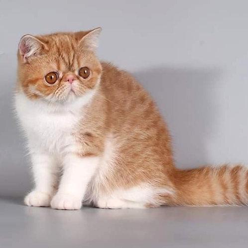 111 Emily Exotic shorthair female kitten
