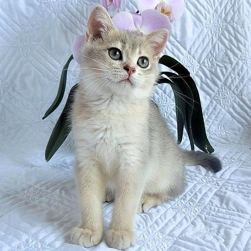 749 Grey  British shorthair male kitten