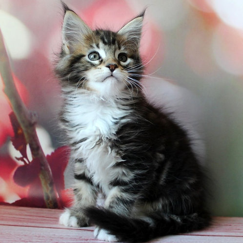 656 Marge Maine Coon female kitten