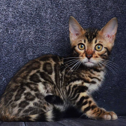 204 Epic  purebred Bengal male kitten