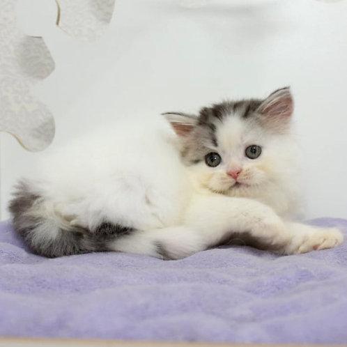 854 Damir   Scottish straight longhair male kitten