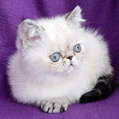 75 Pandora   Exotic  female kitten