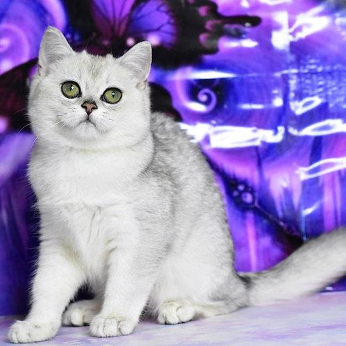 Sakura British shorthair female kitten