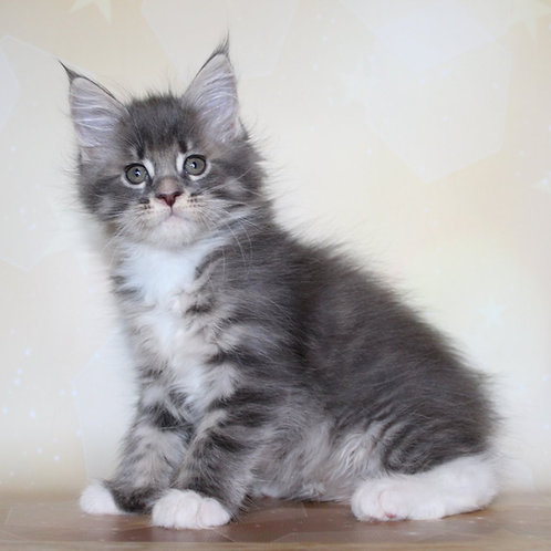 506 Kalisa Maine Coon female kitten