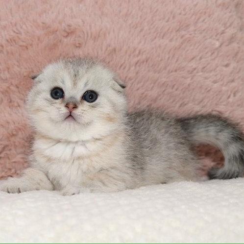 Zahar Scottish fold shorthair male kitten