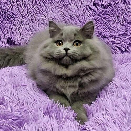 40 Zeus Scottish straight longhair male kitten