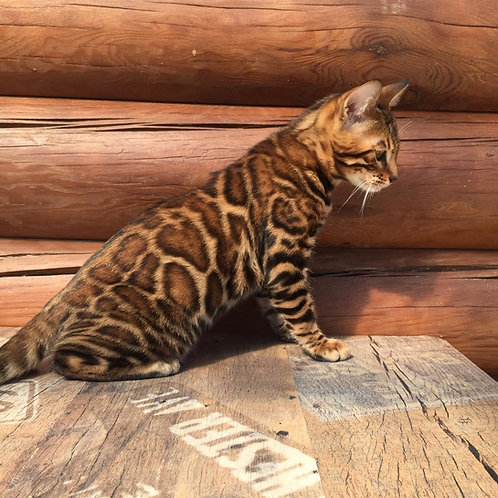 154 Loran purebred Bengal male kitten
