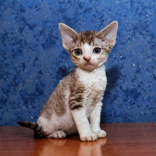 Meddox male kitten Devon Rex