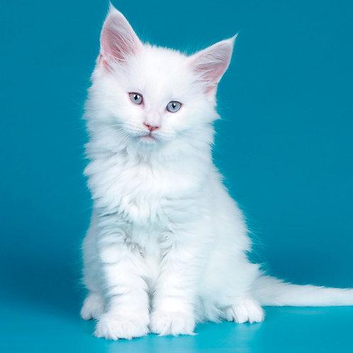 175 Nota    Maine Coon female kitten