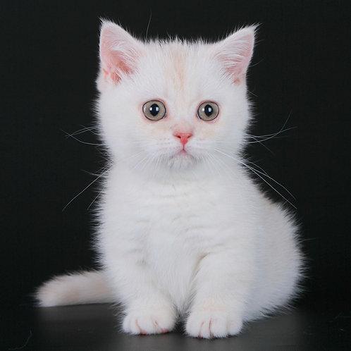 903 Toyota     Munchkin shorthair female kitten