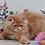 Thumbnail: 212 Hank   Persian  male kitten