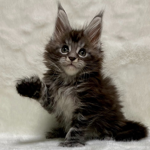 462 Quaxo polydactyl  Maine Coon male kitten