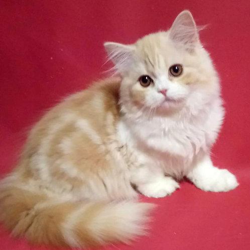 1149 Arisha  Scottish straight longhair female kitten