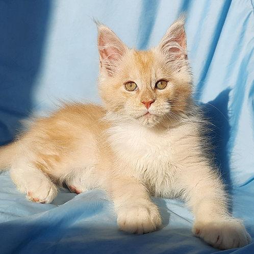 687 Z-Lion   Maine Coon male kitten