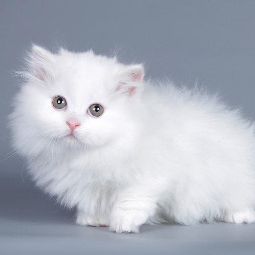 398 Valeriya   Munchkin longhair female kitten