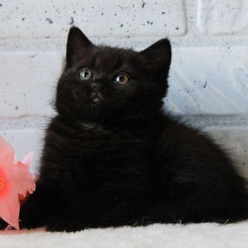 353 Matvey      British shorthair male kitten