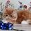 Thumbnail: 211 Henry   Persian  male kitten