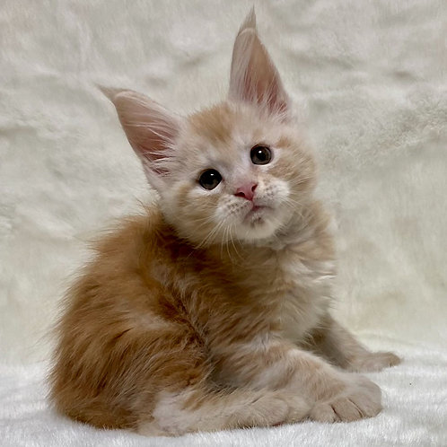 459 Quango polydactyl  Maine Coon male kitten