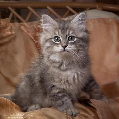 463 Alevtina Siberian female kitten