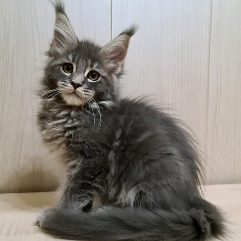40 Biscuit Maine Coon male kitten