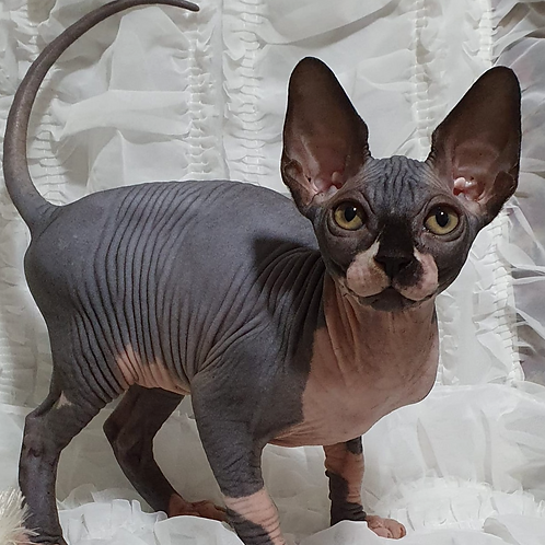 592 Monica  female Sphynx   kitten