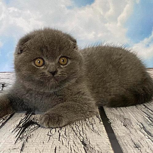 607 Fendi   Scottish fold shorthair male kitten