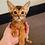 Thumbnail: 16 Eggon   purebred Abyssinian male kitten