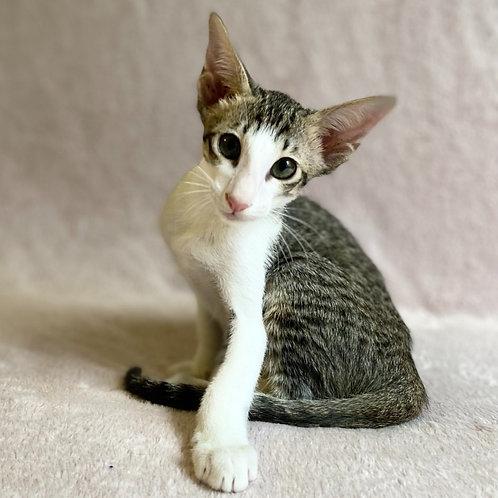 575 Denis   Oriental male kitten