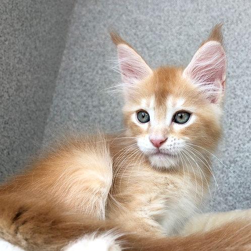 756 Hardox  Maine Coon male kitten
