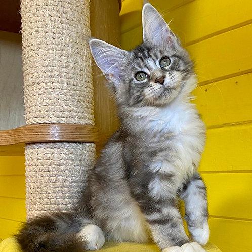 525 Zahara Maine Coon female kitten