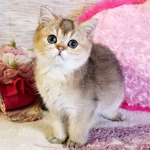 186 Gucci  British shorthair male kitten