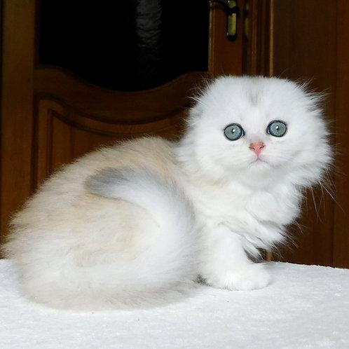 804 Sunny  Scottish fold longhair male kitten