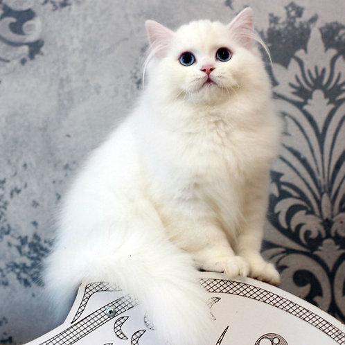 479 Fiona  Scottish straight longhair female kitten