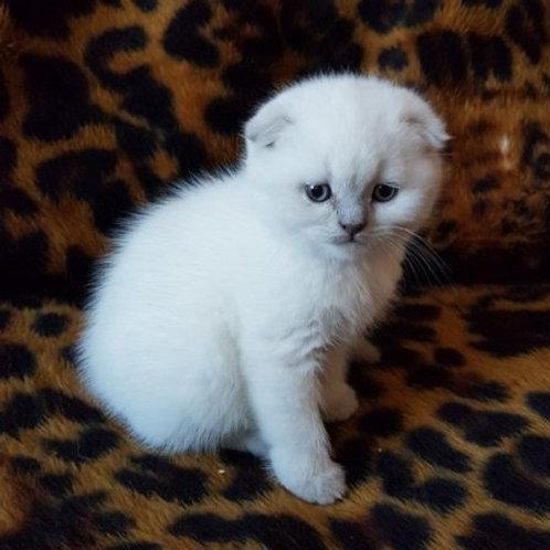 Gloria Scottish fold shorthair female kitten