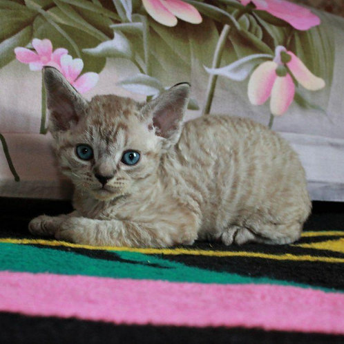 Mr. Pumpkin male kitten Devon Rex