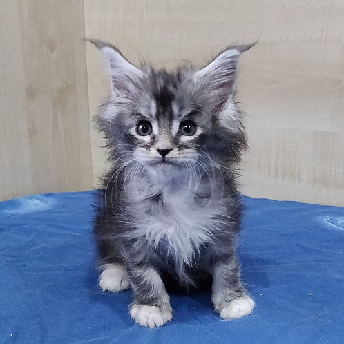 Chans Maine Coon male kitten